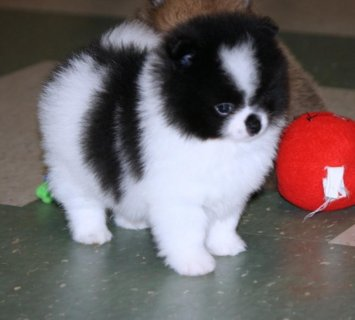 TECHNICAL TEACUP POMERANIAN  AND LOVELY PUPPY