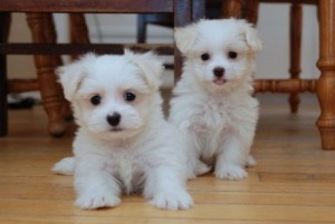 male and female maltese puppies for adoption1