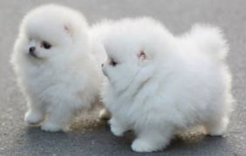 Two gorgeous Tea Cup pomeranian Puppies for Adoption
