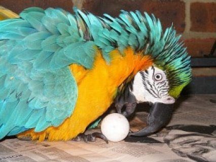 Baby Blue and Gold Macaw for Sale for Christmas-->>>>>>