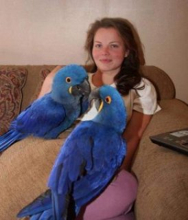 Pair of Hyacinth Macaws for Sale<>