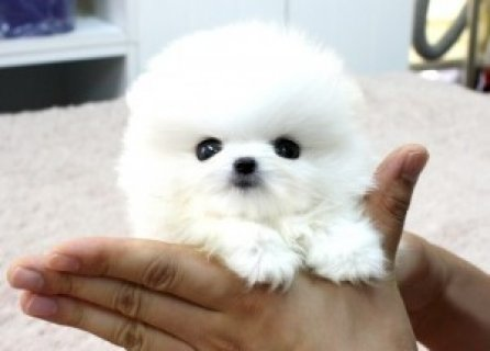 X_MasGorgeous Pomeranian Pups Available