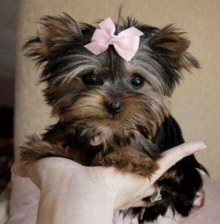 Teacup Yorkie Puppies for SaleTeacup Yorkie Puppies for Sale
