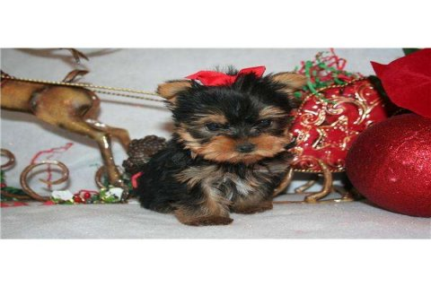 Excellent Teacup Yorkie Puppies For Adoption