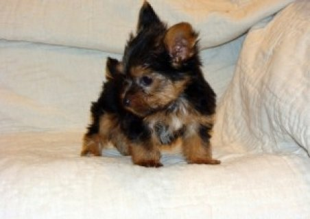 صور Awesome AKC yorkie ups For Christmas 1