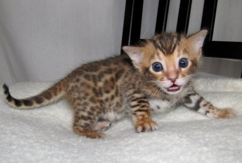 two beautiful Bengal kittens available