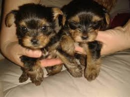 X Mas yorkie puppies for adoption