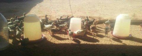 للبيع دجاج وصوص وبيض مخصب