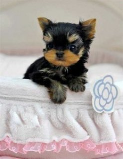 Yorkie Puppies for Available For Sale Now8