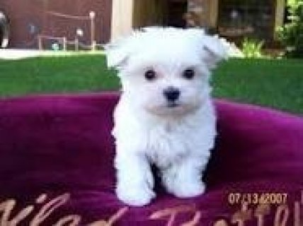 Cute Maltese Pup for Sale