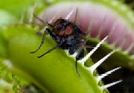 للبیع شتلات اکلت الحشرات والحوم ب اسم ونوس او dianea muscipula .