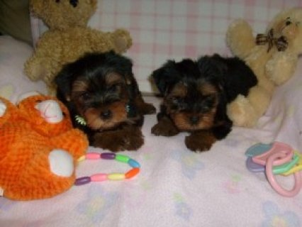 Lovely Akc Teacup Yorkie Puppies Ready For Christmas