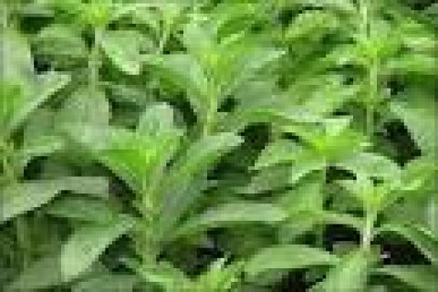 للبیع شتلات نبات ستیفیا(stevia) الرایعه السکری حلوه الطعم