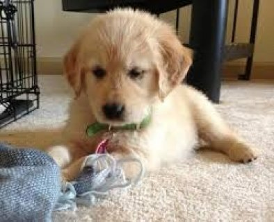 صور Now Well Trained Golden Retriever Puppies 1
