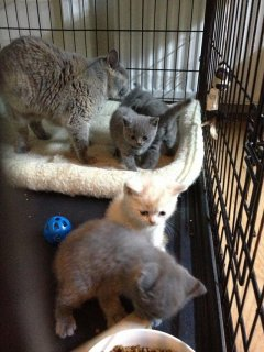 gorgeous British Shorthair t kittens, and are ready to move on t