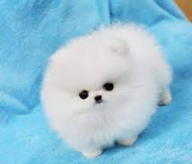 Home Trained Pomeranian Puppies For Sale