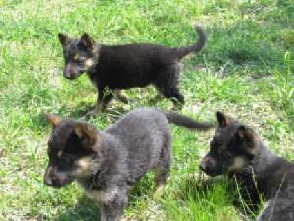 german shepherds puppies