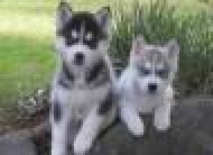 Black Eyes Siberian Husky Puppies For Adoption