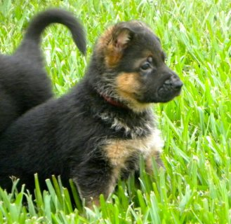 صور   European-line German Shepherd puppies-AKC registered 1
