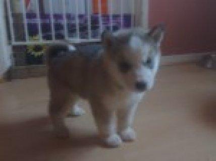 Alaskan Malamutes Pupies For Sale