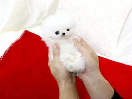 Good Looking Pomeranian Puppies for adoption,,,,