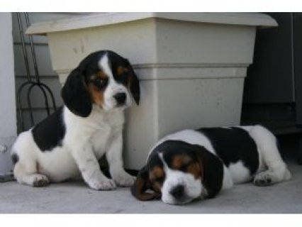 Cute Beagle Puppies,,,,,