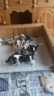 Pedigree Beagle Puppies, Ready Now