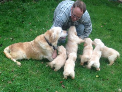 Gorgeous Pure Bred Golden Retriever Puppies for sale