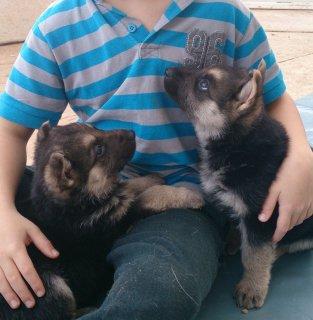 Champion Blodline German Shepherd Puppie For Sale