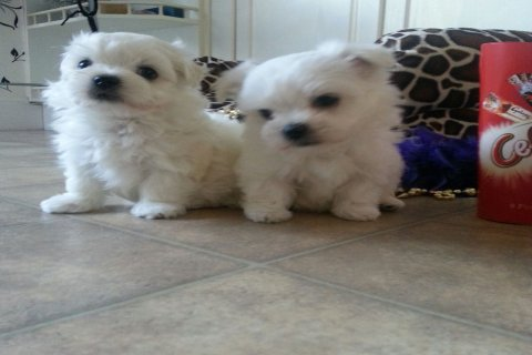 Ready Now Very Tiny teacup Maltese Puppies\'s K.c Reg