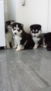 5 Remaining Gorgeous Ready Now - Pure Blue Eyed Siberian Husky P