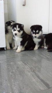 5 Remaining Gorgeous Ready Now - Pure Blue Eyed Siberian Husky P