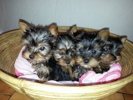Tiny Teacup Pedigree Yorkshire Terrier Puppies for New-homing