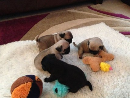 Quarter Fawn Pug Puppies For Sale