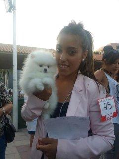 Registered Cream Sable Pedigree Pomeranian Puppies For Sale