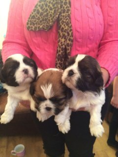 3 Beautiful Full Pedigree Male And Female Ship Tzu Ready