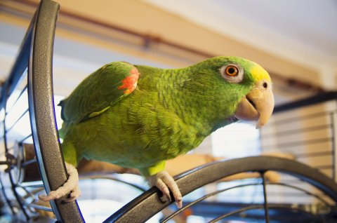 Beautiful Talking Yellow Amazon Parrots With/without Cage