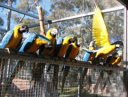 Blue and Gold Macaw Parrots With Cage
