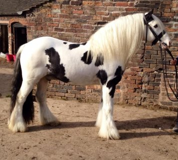 Hoys Potential Gypsy Horse Traditional For Sale