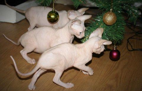 Sphynx Kittens Tica Registered