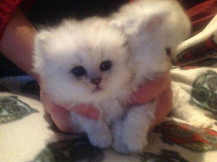Stunning Chinchilla Pedigree Persian Kittens