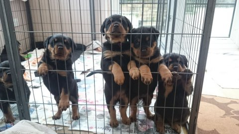 Kc Rottweiler Needing New Home