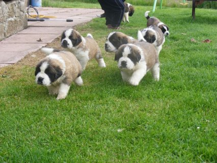 Lovely Saint Bernard puppies available Kc Registered