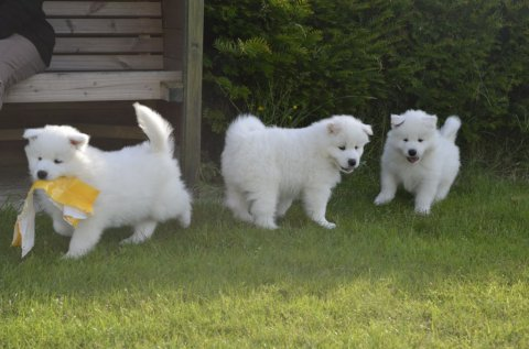 صور Three Beautiful Samoyed Puppies For Sale 1