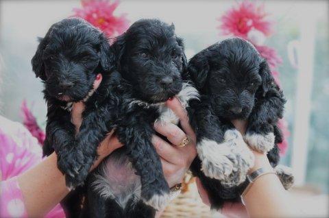 Rare Portuguese Water Dog Puppies