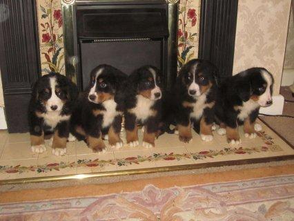 Gorgeous Pedigree Bernese Mountain Dog Puppies