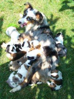 Australian Shepherd Puppies. Kc Registered.