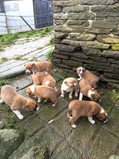 Pedigree Welsh Sheepdog Pups-ready Now