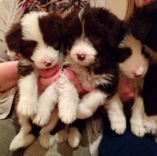 Brown & White Bearded Collie Puppies For Sale