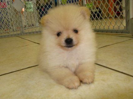 cute male and female pomeranian puppy for rehoming for a new hom